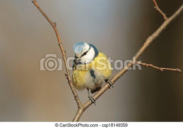 Blue tit (Parus caeruleus) - csp18149359