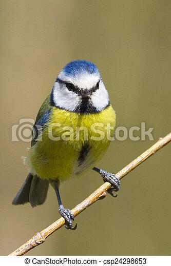 Blue Tit (Parus caeruleus) - csp24298653