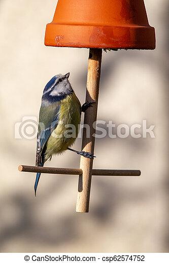 Blue Tit (Parus caeruleus) - csp62574752
