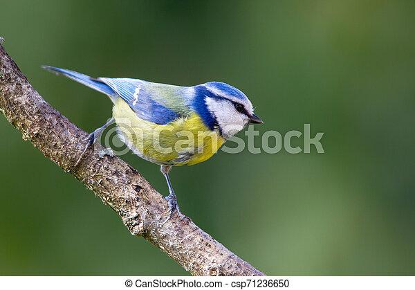 Blue Tit (Parus caeruleus) - csp71236650