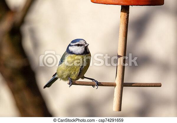 Blue Tit (Parus caeruleus) - csp74291659