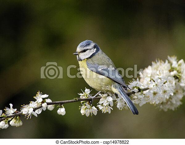 Blue tit, Parus caeruleus - csp14978822
