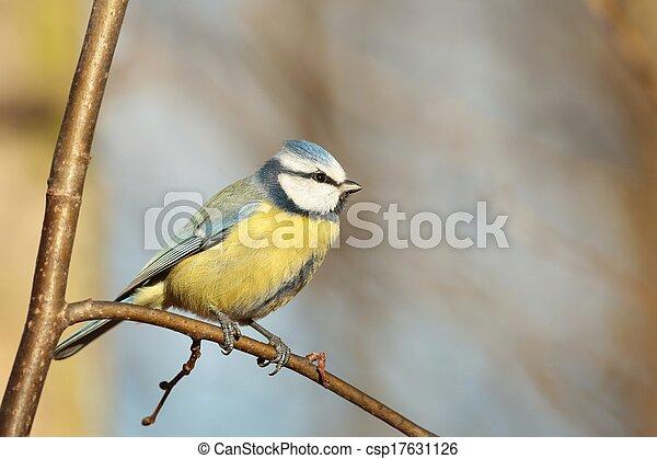 Blue tit (Parus caeruleus) - csp17631126