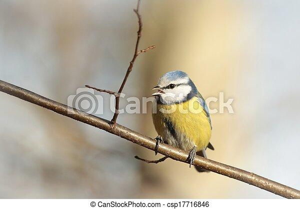 Blue tit (Parus caeruleus) - csp17716846