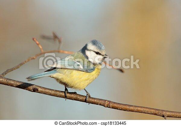 Blue tit (Parus caeruleus) - csp18133445