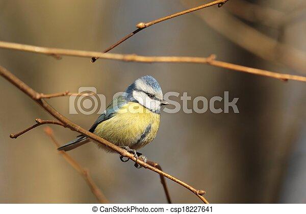 Blue tit (Parus caeruleus) - csp18227641