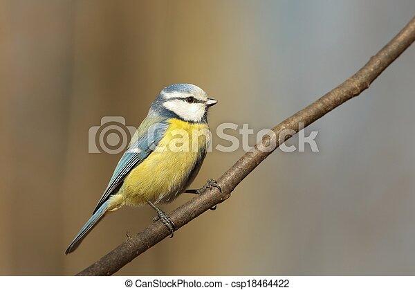 Blue tit (Parus caeruleus) - csp18464422