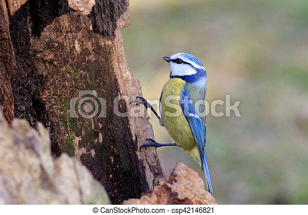 Blue Tit (Parus caeruleus) - csp42146821