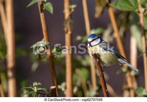Blue Tit (Parus caeruleus) - csp62797049
