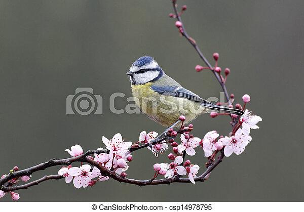 Blue tit, Parus caeruleus - csp14978795