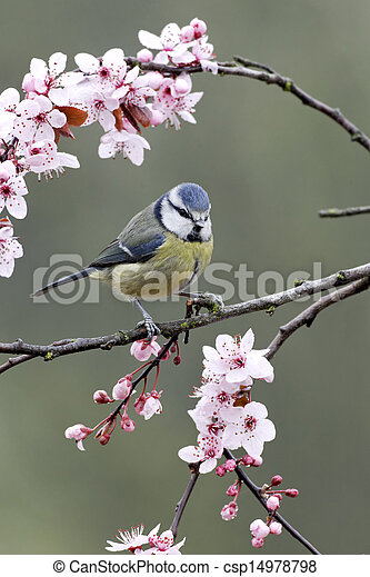 Blue tit, Parus caeruleus - csp14978798