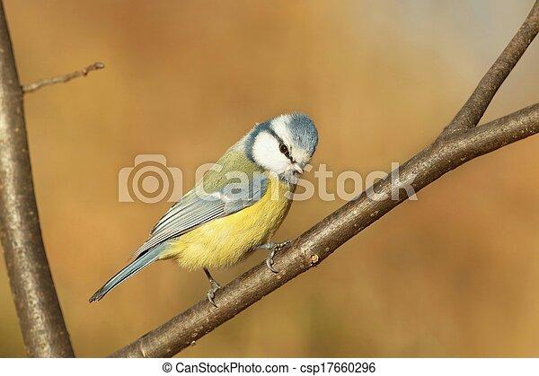 Blue tit (Parus caeruleus) - csp17660296