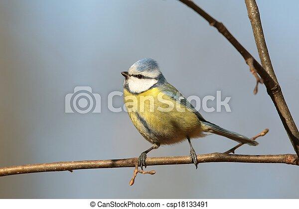 Blue tit (Parus caeruleus) - csp18133491