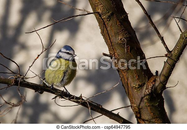 Blue Tit (Parus caeruleus) - csp64947795