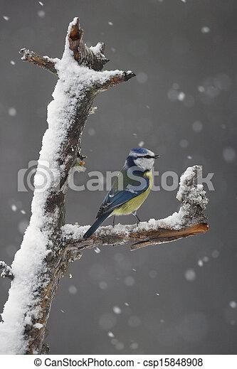 Blue tit, Parus caeruleus - csp15848908