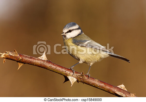 Blue tit, Parus caeruleus - csp15849000