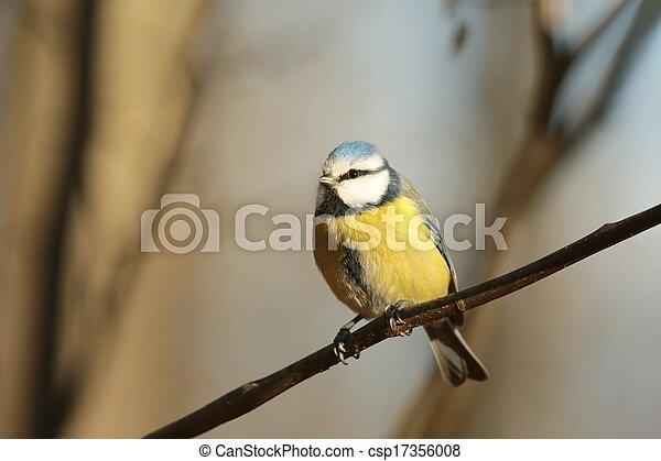 Blue tit (Parus caeruleus) - csp17356008