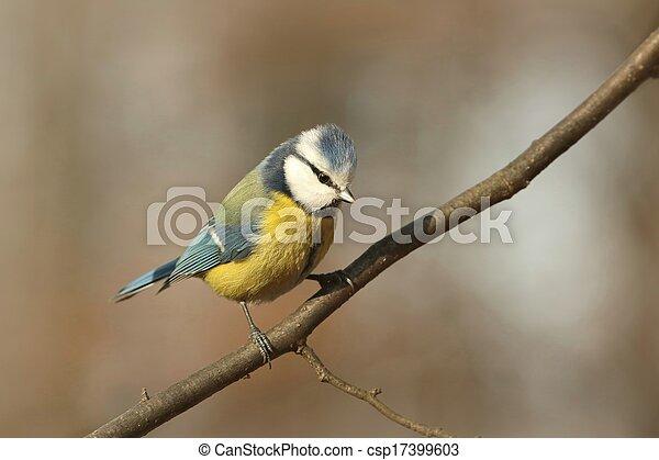 Blue tit (Parus caeruleus) - csp17399603