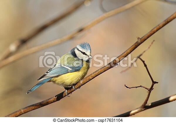 Blue tit (Parus caeruleus) - csp17631104