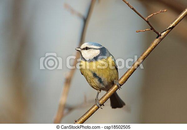 Blue tit (Parus caeruleus) - csp18502505