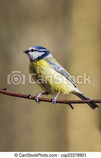 Blue Tit (Parus caeruleus) - csp23378901