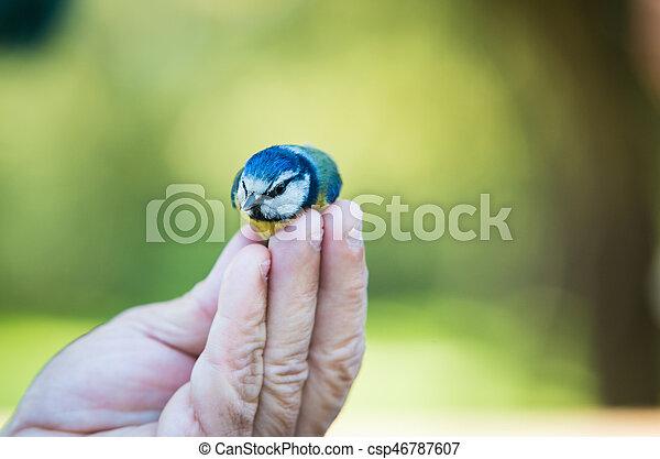 Blue Tit (Parus caeruleus) - csp46787607