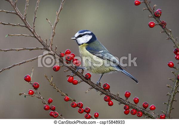 Blue tit, Parus caeruleus - csp15848933