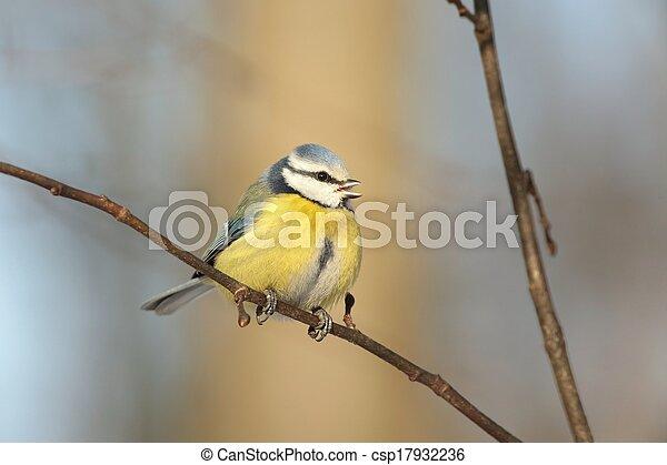 Blue tit (Parus caeruleus) - csp17932236
