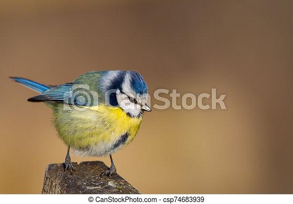 Blue Tit (Parus caeruleus) - csp74683939