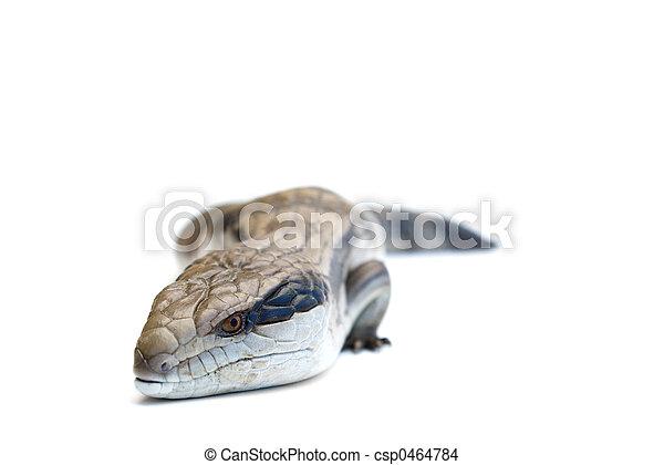Blue Tongue Lizard #1 - csp0464784