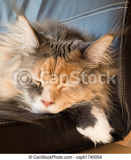 Blue Tortie Tabby with White Maine Coon Cat Sleeping on Chair - csp61740054