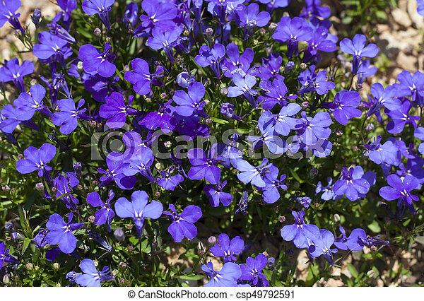 Blue Trailing Lobelia Sapphire Flowers Or Edging Lobelia Stock