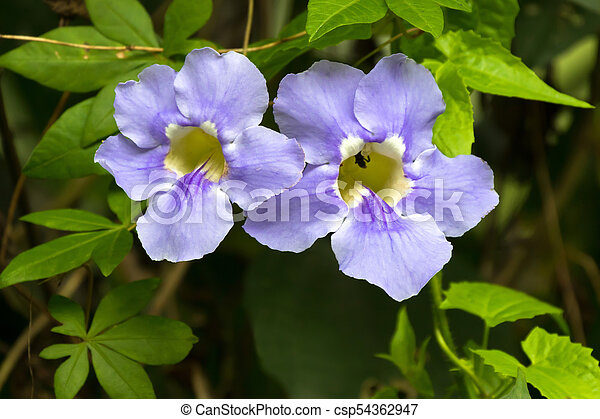 Closeup blue trumpet vine flower in blue with yellow inside growing closeup blue trumpet vine flower in blue with yellow inside growing in asia thunbergia laurifolia mightylinksfo