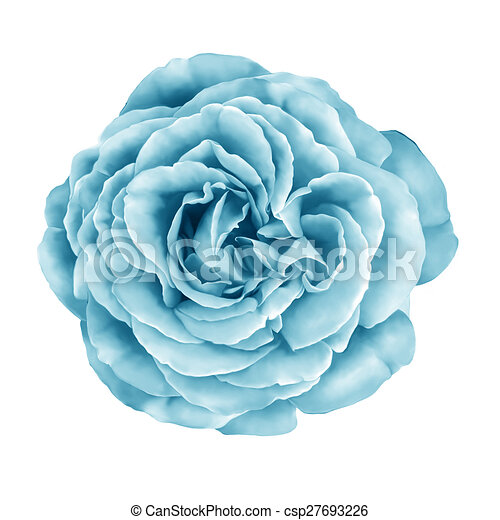 Blue Turquoise Rose Flower Blue Turquoise Camellia Rose Flower Isolated On White Background