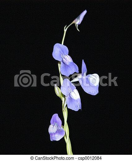 Blue Utricularia - csp0012084