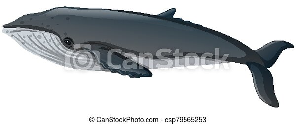 Blue whale on white background - csp79565253