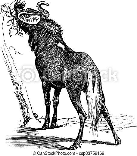 Blue Wildebeest or Connochaetes taurinus vintage engraving - csp33759169