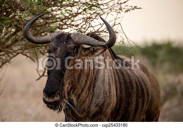 Blue Wildebeest - csp25433180