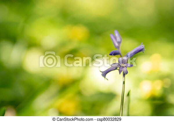 bluebells in the forest - csp80032829