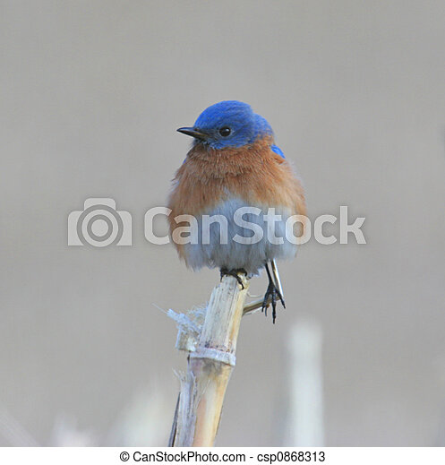 Bluebird on a Corn Stalk - csp0868313