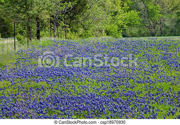 Campo de Bluebonnet en Texas Springs - csp18970930