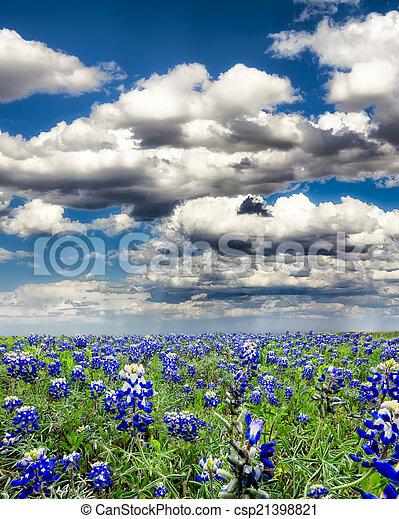 Campos Bluebonnet en Texas - csp21398821