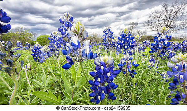 Bluebonnet Fields in Texas - csp24159935