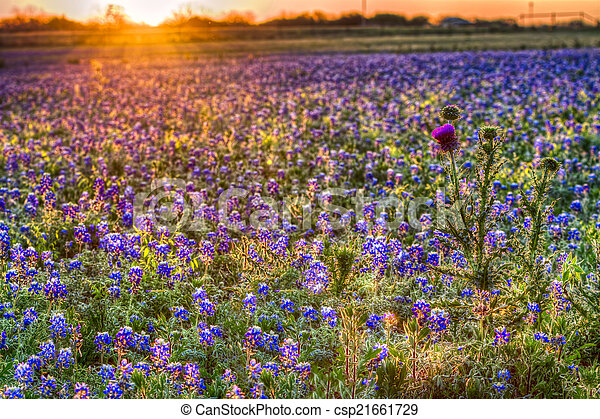 Bluebonnet Sunrise in the Texas Hill Country - csp21661729