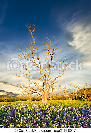 Bluebonnets in the Texas Hill Country - csp21658017
