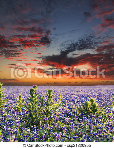 Bluebonnets in the Texas Hill Country - csp21220955