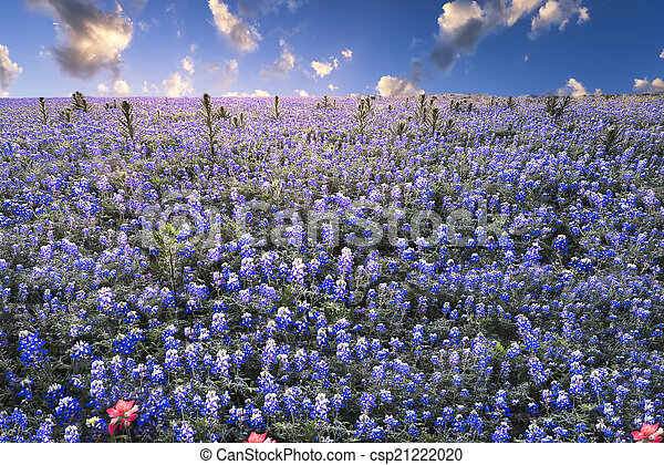Bluebonnets in the Texas Hill Country - csp21222020
