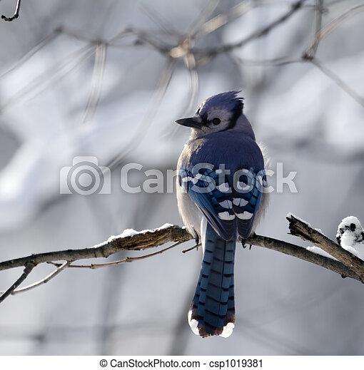 bluejay, fond, neigeux - csp1019381