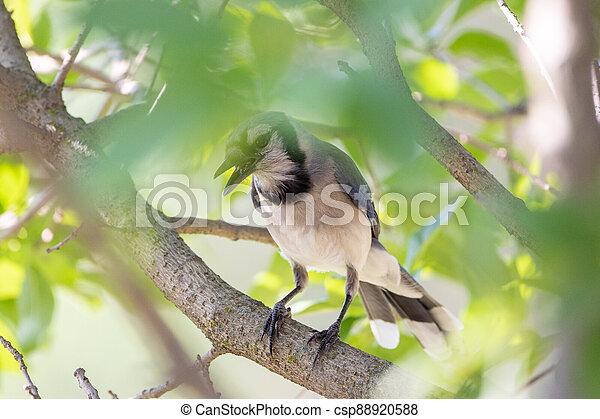Bluejay Hidden in a Tree - csp88920588