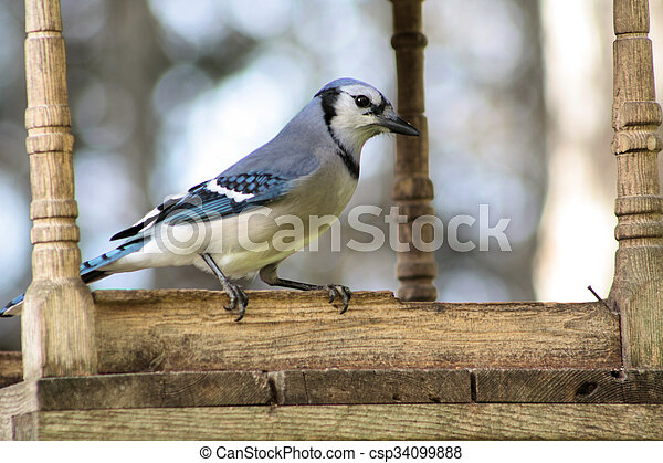 Bluejay Perched on Feeder - csp34099888